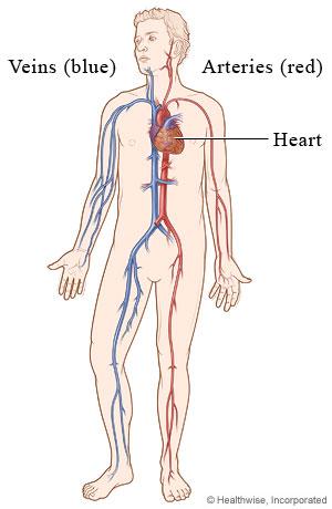 Cardiovascular System Michigan Medicine