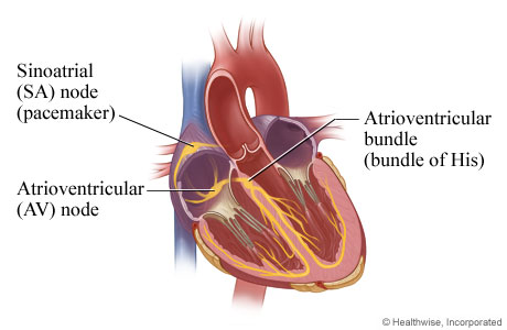 The electrical system of the heart (inner view)