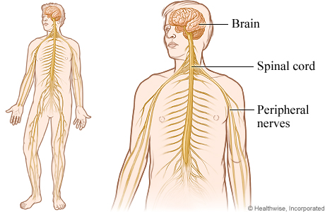 pics photos   nervous system