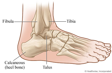 Bones Of The Ankle Joint Side View Michigan Medicine