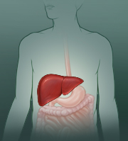 Where the liver is located in the body