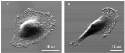 Images of two individual cells isolated by the device
