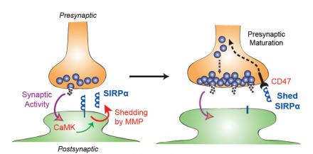 How brain synapses get stabilized