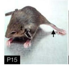 Dystonia mouse model