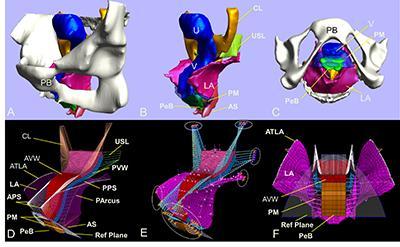 3D pelvic floor model