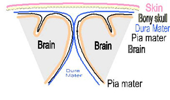 Dura-mater is one of the layers that lie between the brain and the skull.