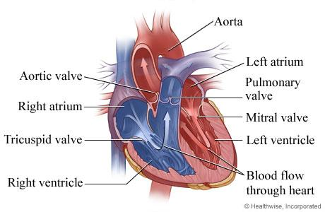 Illustration of the normal heart