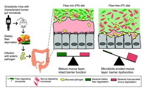 Dietary fiber impact on gut microbiota