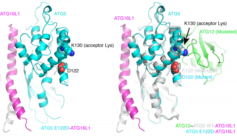 ATG5 structure