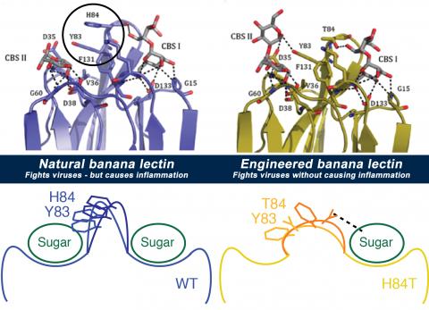 banana lectin