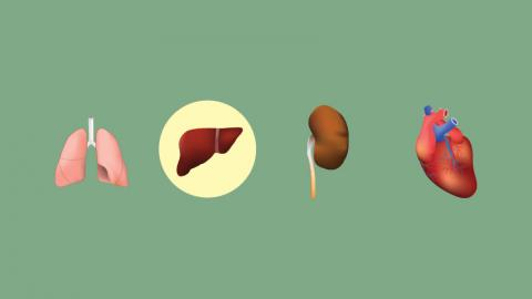 Graphic of organs