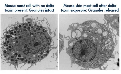 Mast cells with and without delta toxin