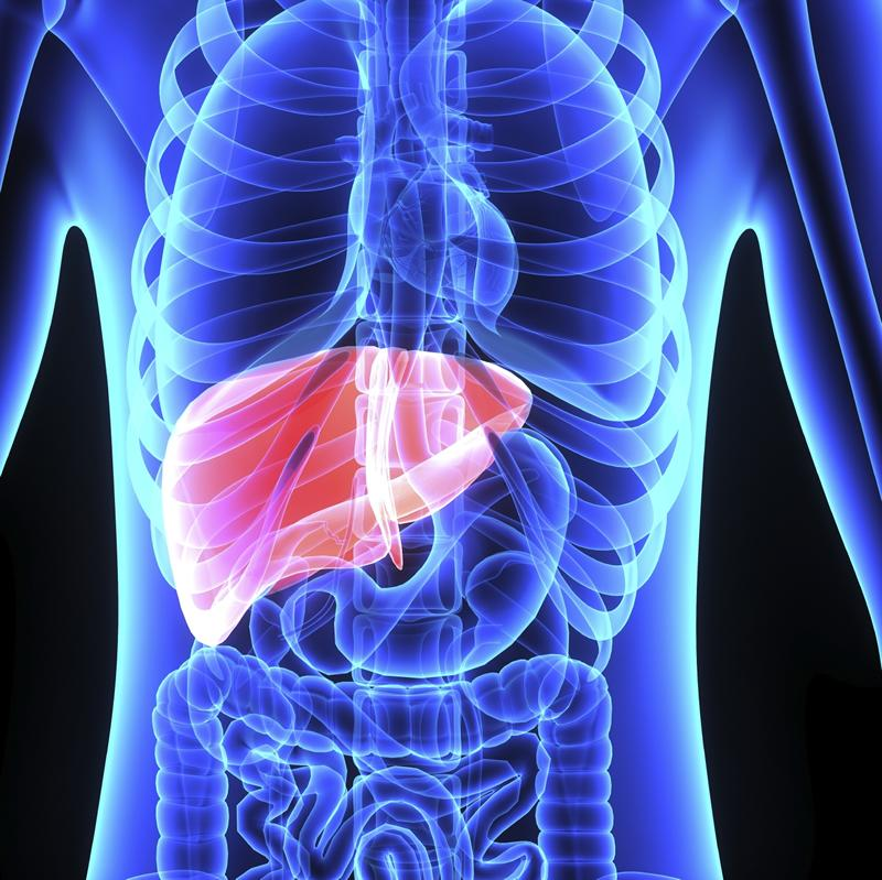Liver illustration