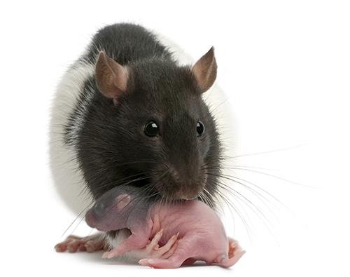 Rat mother and pup